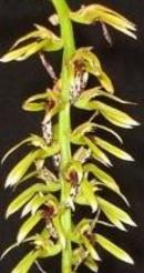 Bulbophyllum weddelii